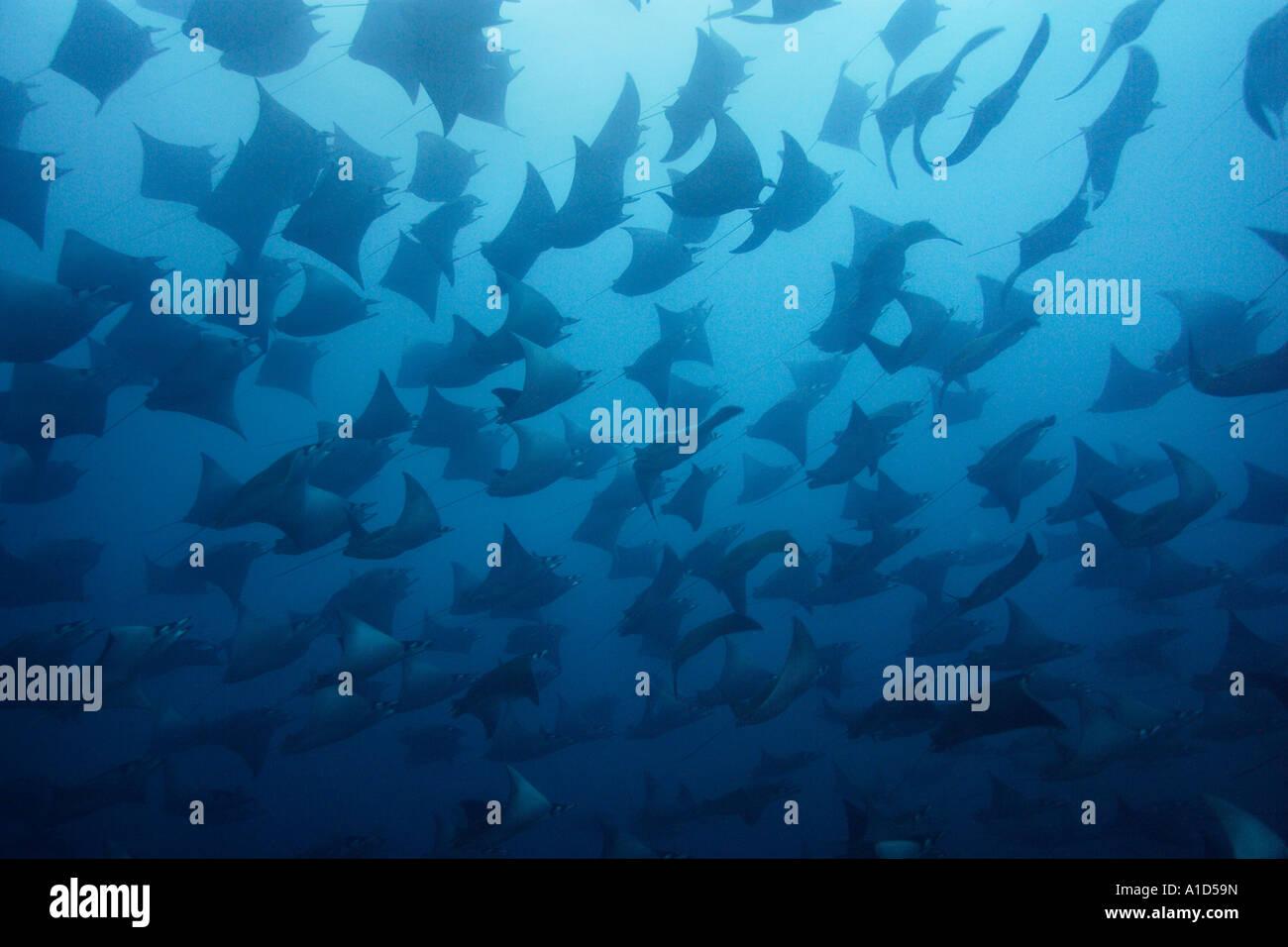 nu2509. Smoothtail Mobula rays, Mobula munkiana. Galapagos, Pacific Ocean. Photo Copyright Brandon Cole - Stock Image