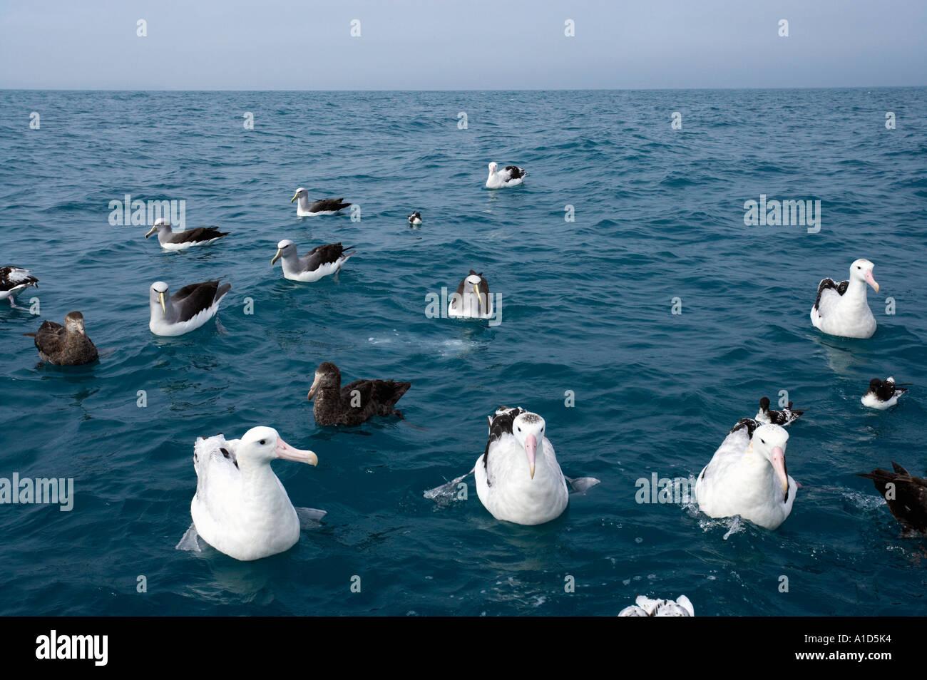 Wandering Albatrosses L to R Snowy Antipodean Gibson s Kaikoura Marlborough South Island New Zealand Diomedea sp - Stock Image