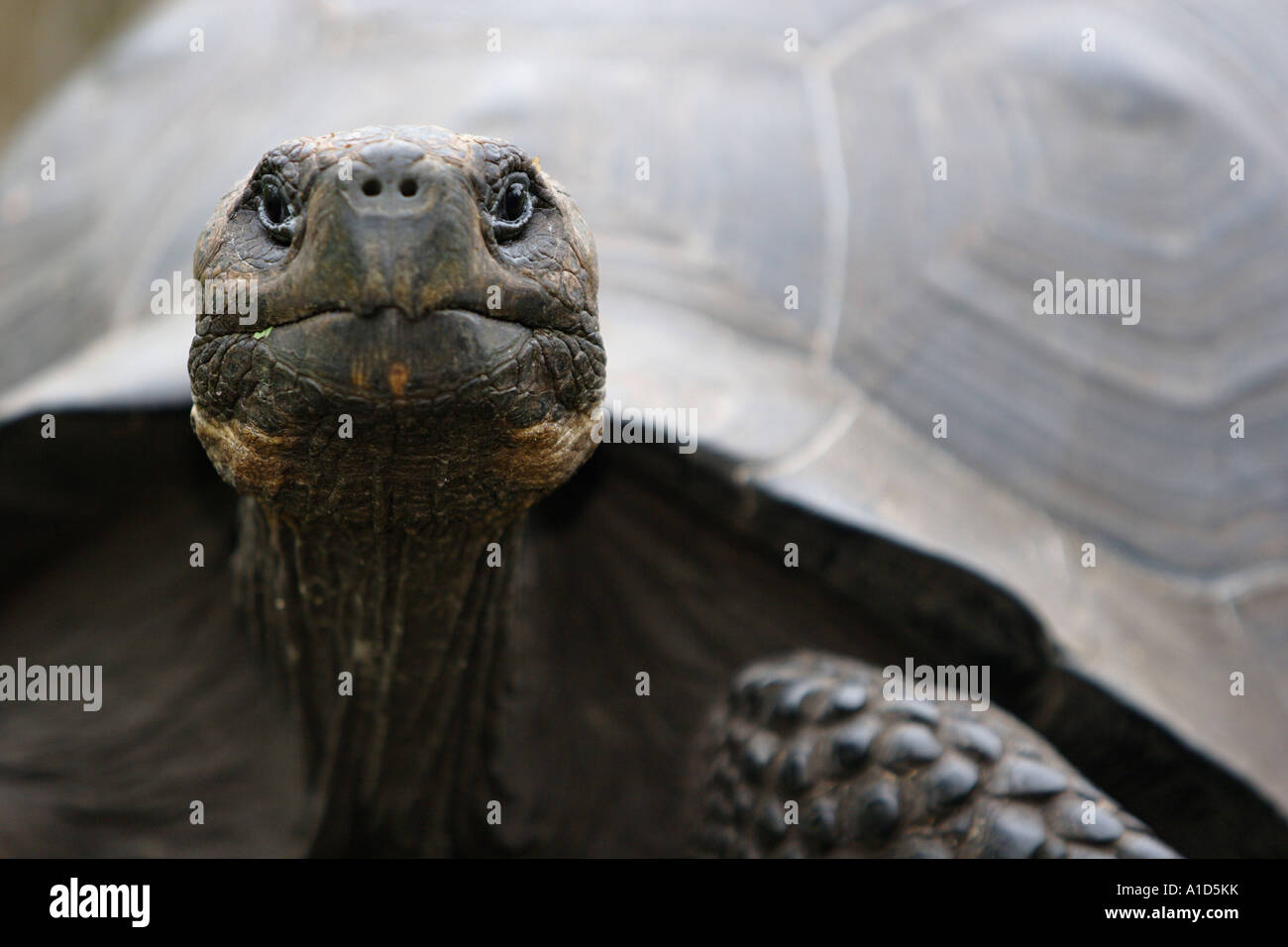 nu72577. Galapagos Giant Tortoise, Geochelone elephantopus. Galapagos Islands. Photo Copyright Brandon Cole - Stock Image