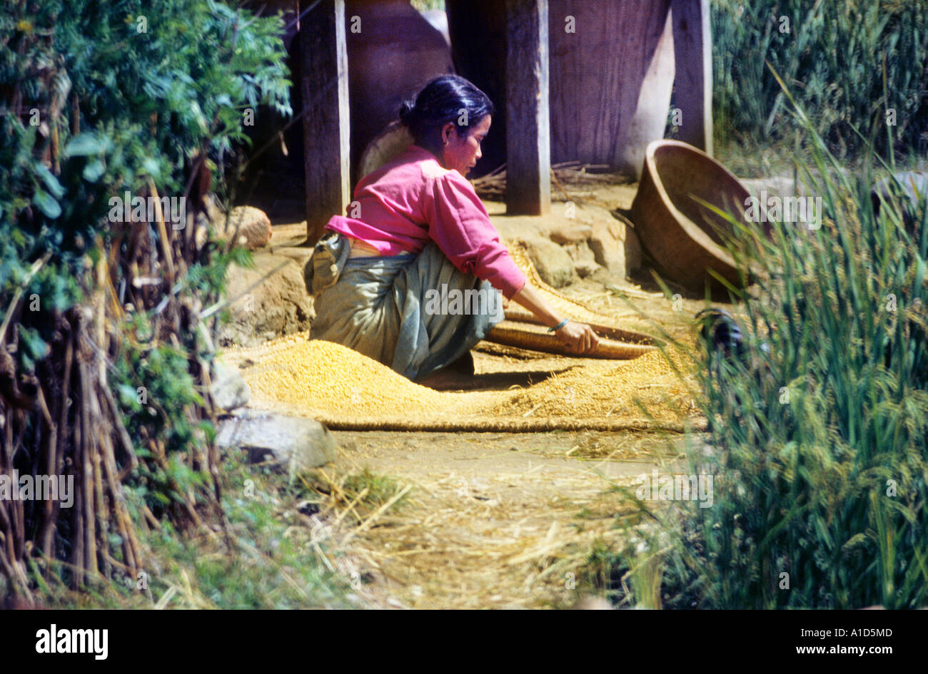 girl Nepal Asia candid unposed winnowing grain on mat harvest agriculture rural portrait rice wheat basket weave woven straw - Stock Image