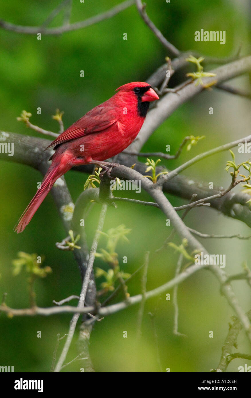 A Northern Cardinal sits in budding tree in springtime Minnesota. - Stock Image