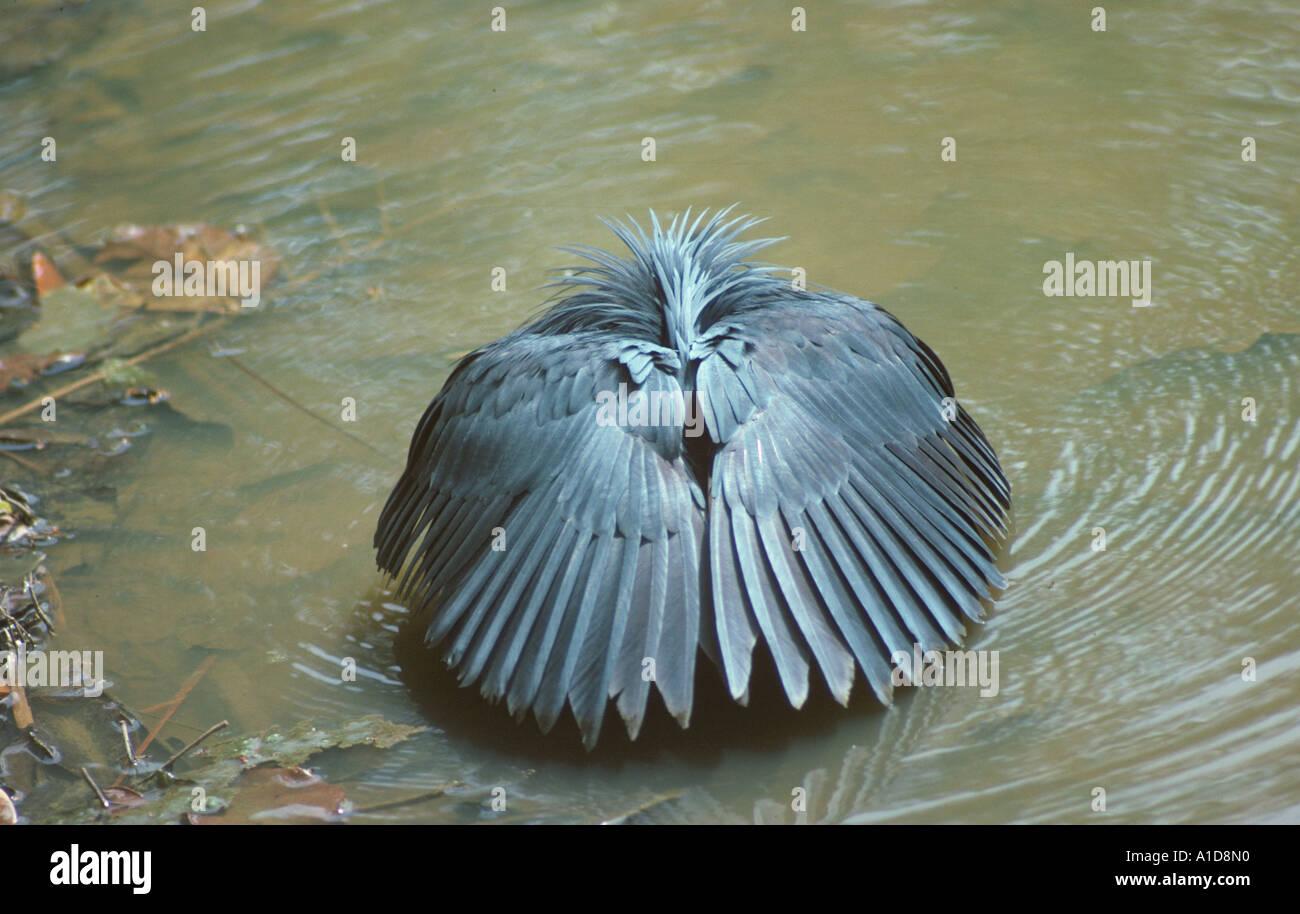 black heron egretta ardesiaca fishing stock photos black heron