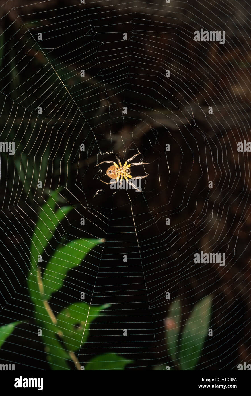 Orb weaving spider in web - Stock Image
