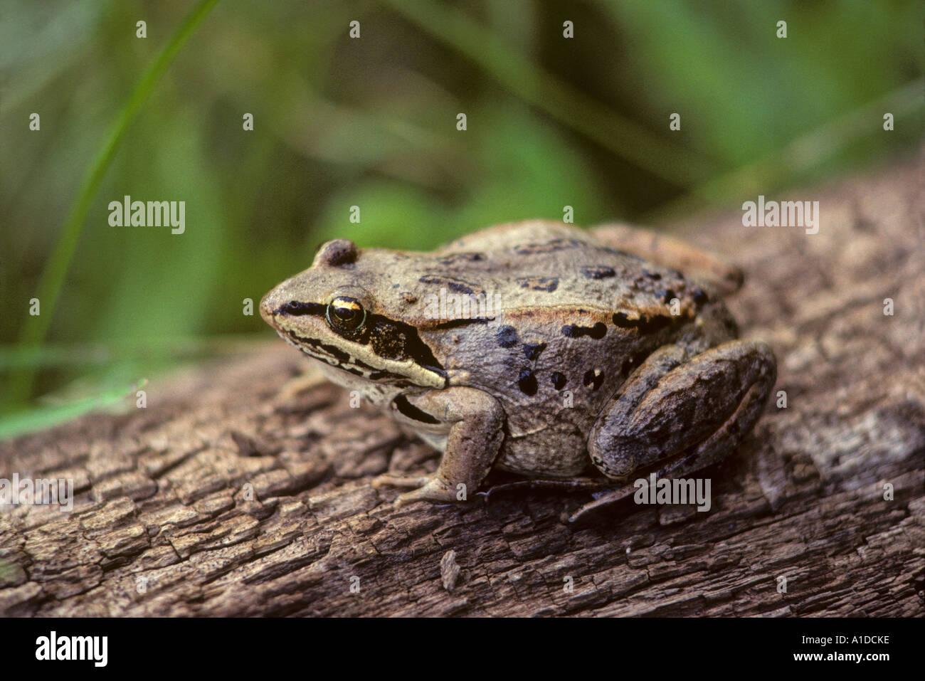 Wood frog rana sylvatica on log - Stock Image
