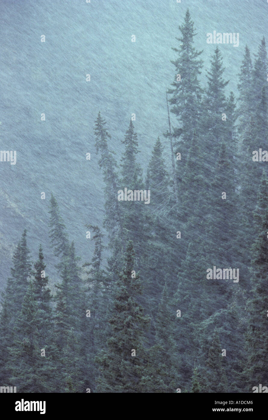 White spruce evergreen trees in a snowstorm - Stock Image