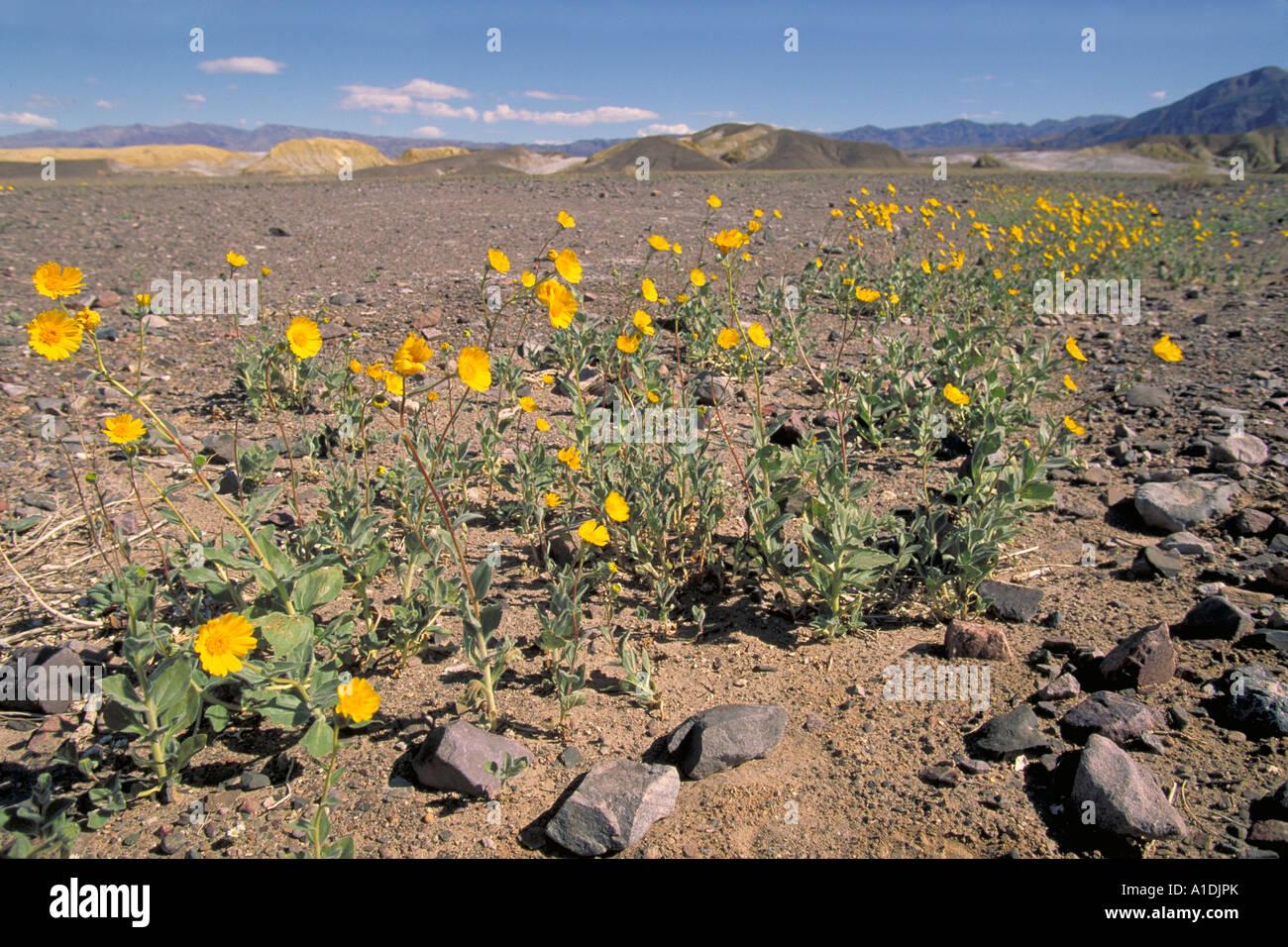Desert Sunflower Death Valley Stock Photos Desert Sunflower Death