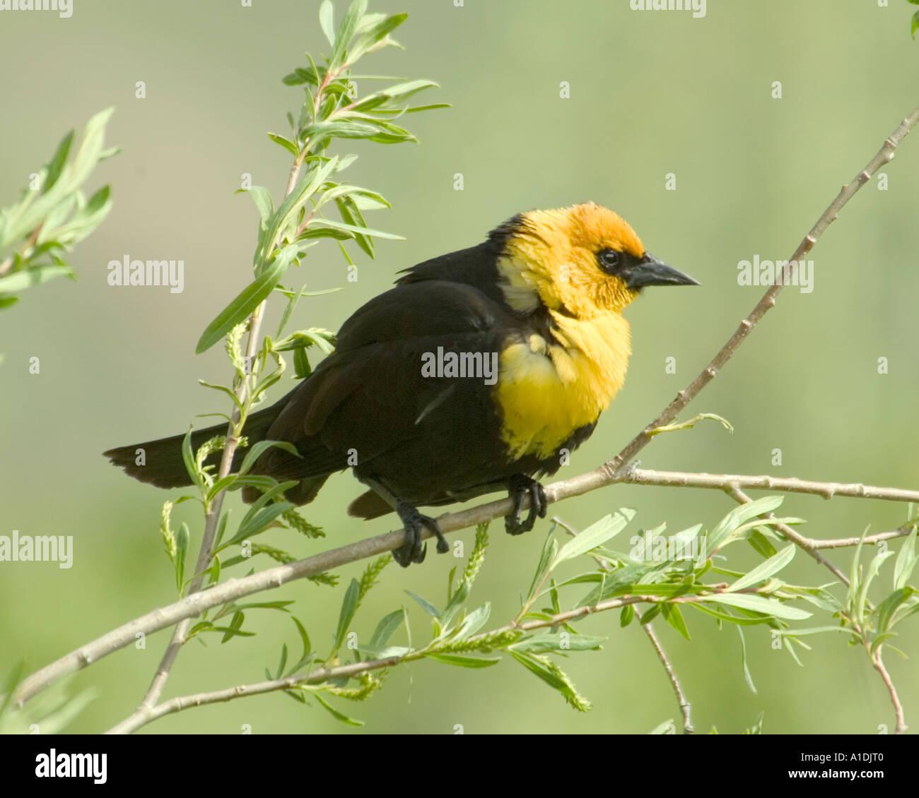 yellow head black bird feathers spring song bird stock photos