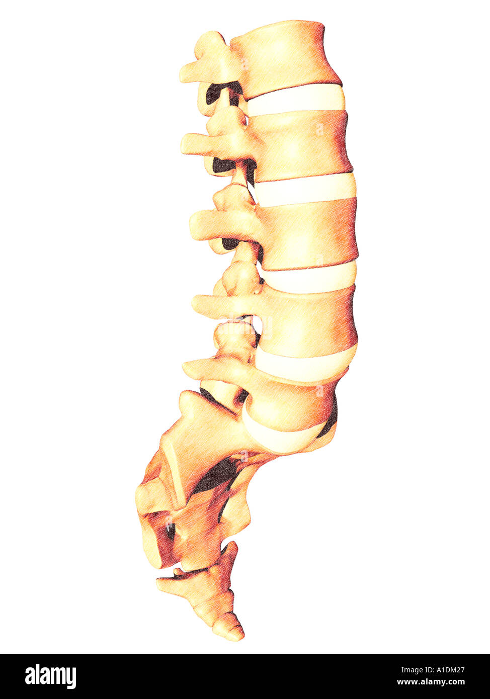 The Sacrum And The Coccyx Stock Photos The Sacrum And The Coccyx