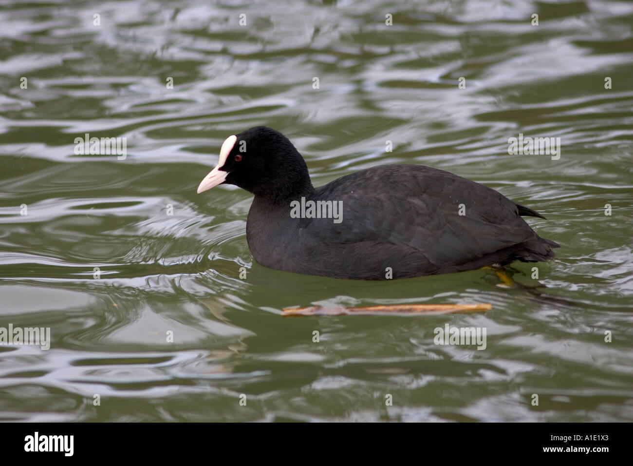 Coot in River Windrush Burford UK Feral birds may be at risk from Avian Flu bird flu virus - Stock Image