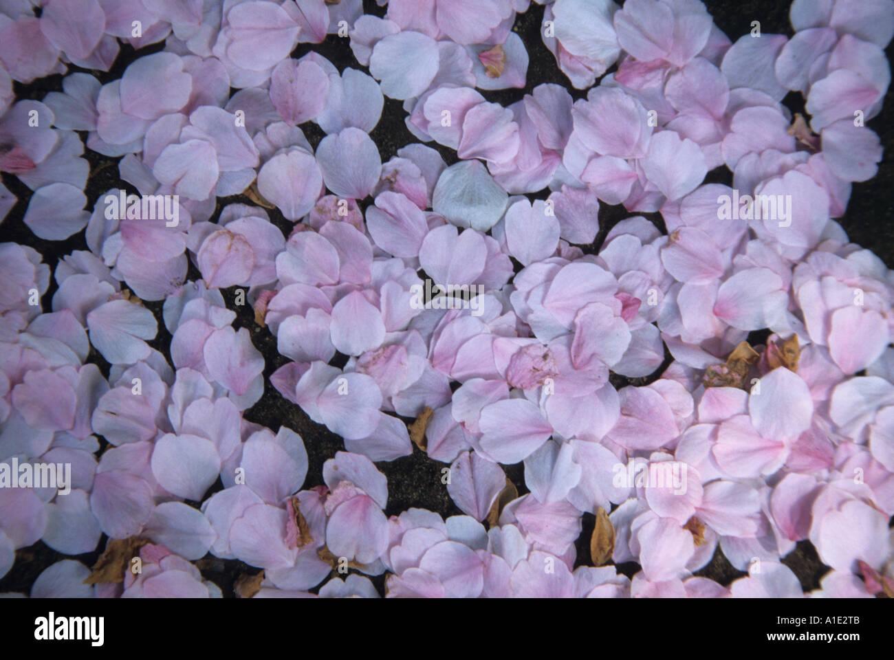 Fallen cherry blossom petals litter the ground at Hamarikyu Detached Garden, Tokyo, Japan Stock Photo