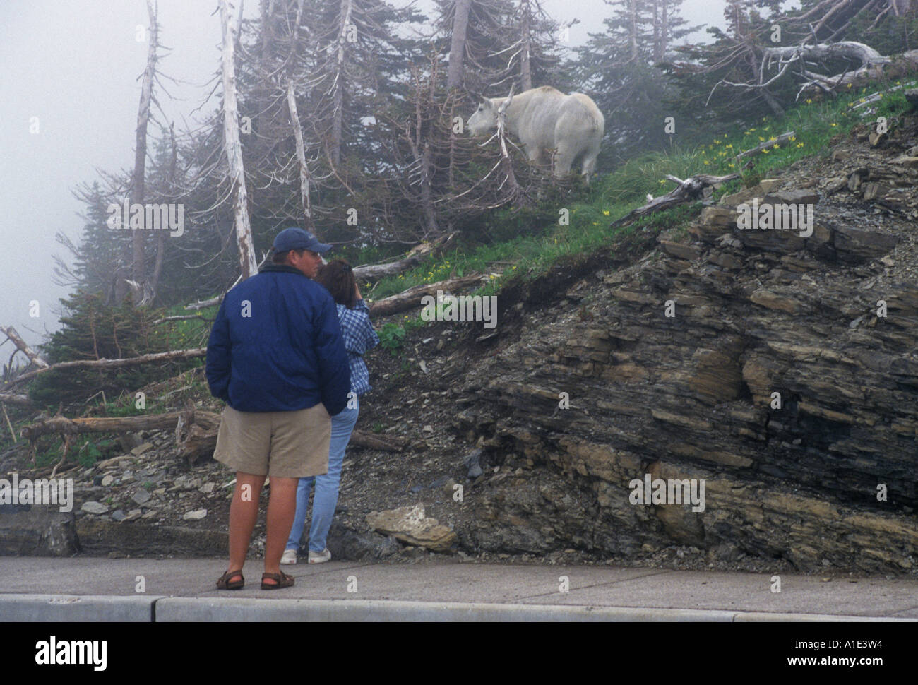 Park visitors admiring a mountain goat at Logan s Pass in Glacier National Park Montana United States of AmericaStock Photo