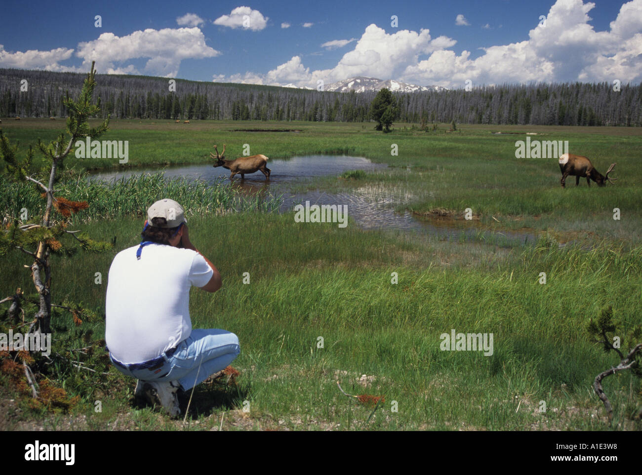 A park visitor taking photos of elk at Yellowstone National Park Wyoming United States of America Stock Photo