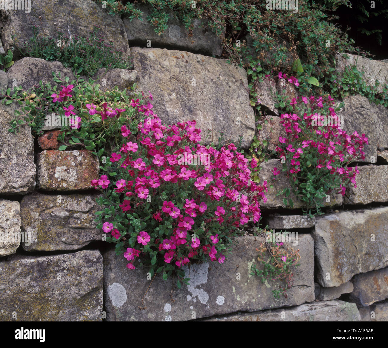 pink Aubrieta aubretia plants growing on a wall Stock Photo