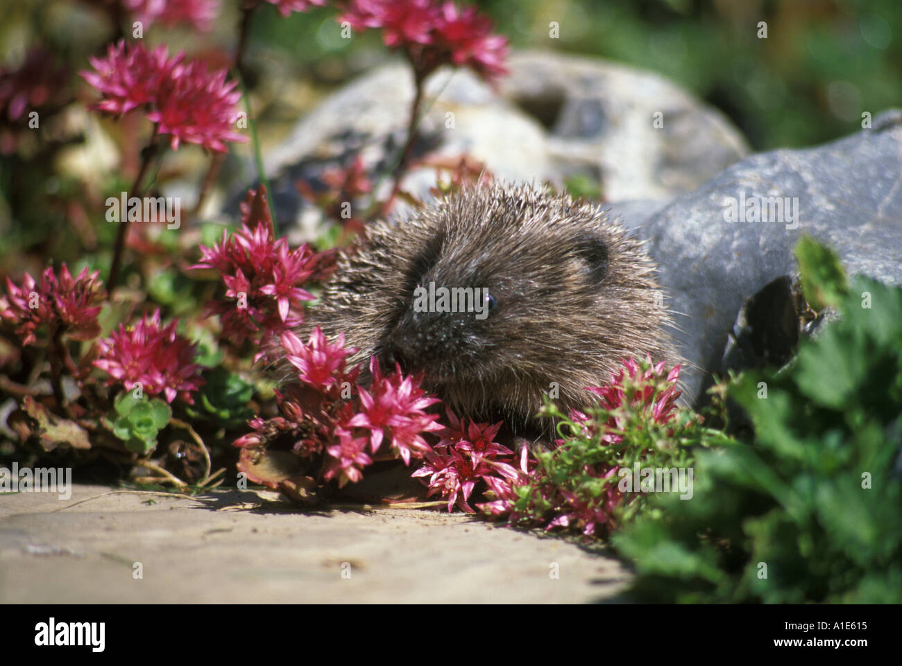 Hedgehog in a garden in England UK - Stock Image