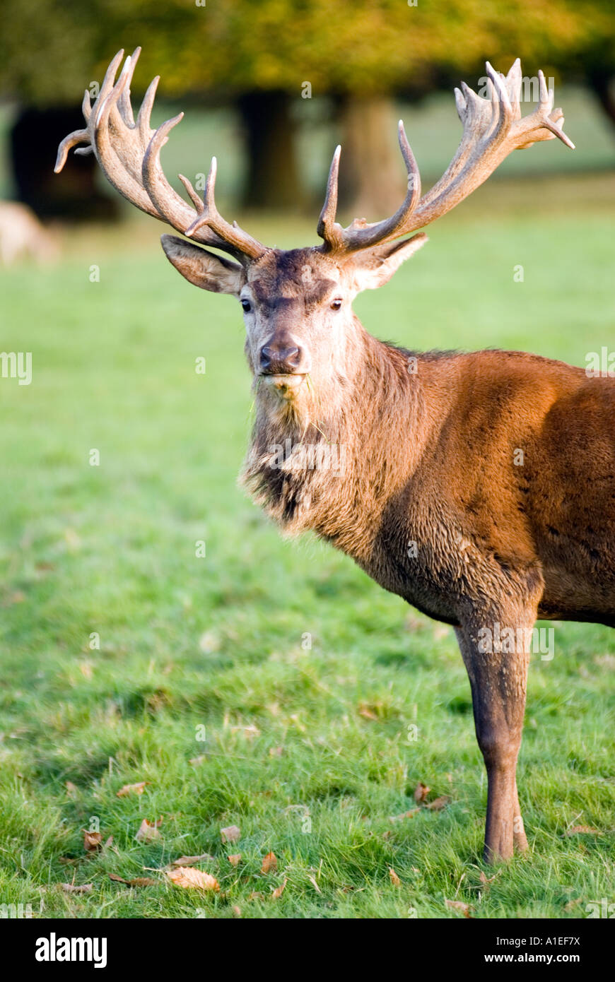 Stag at Woburn Safari Park Bedfordshire England UK forest Centre Parcs. Picture taken from a public footpath. - Stock Image