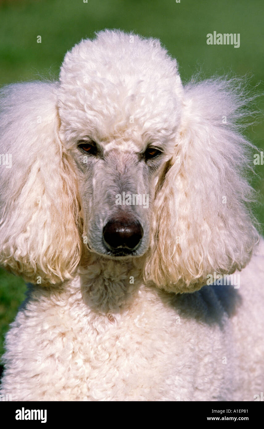 Portrait Of A Purebred White Standard Poodle Dog Stock Photo