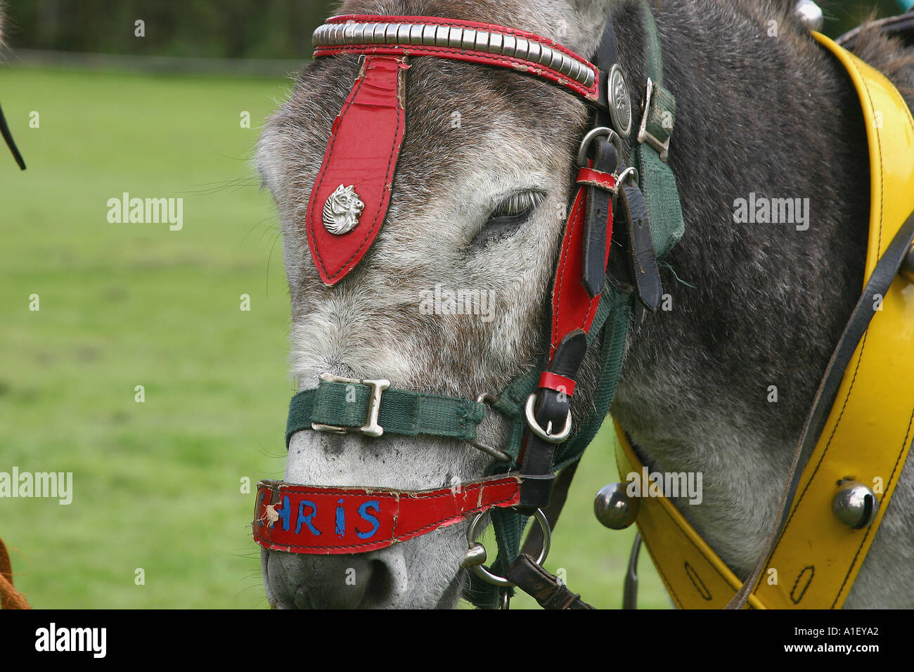 Donkey on beach for children to rid at Bridlington North Yorkshire England Stock Photo