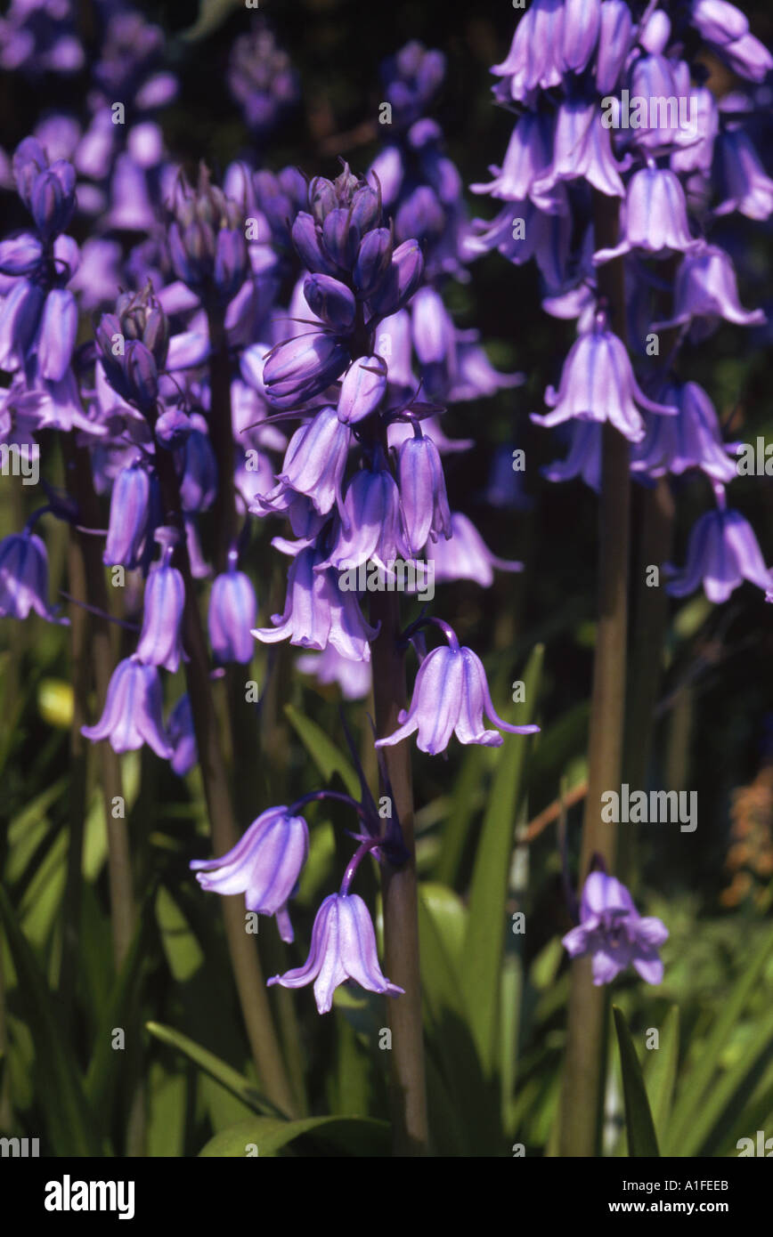 Close up of bluebells Hyacinthoides Non scripta taken in May in Devon England M H Black - Stock Image