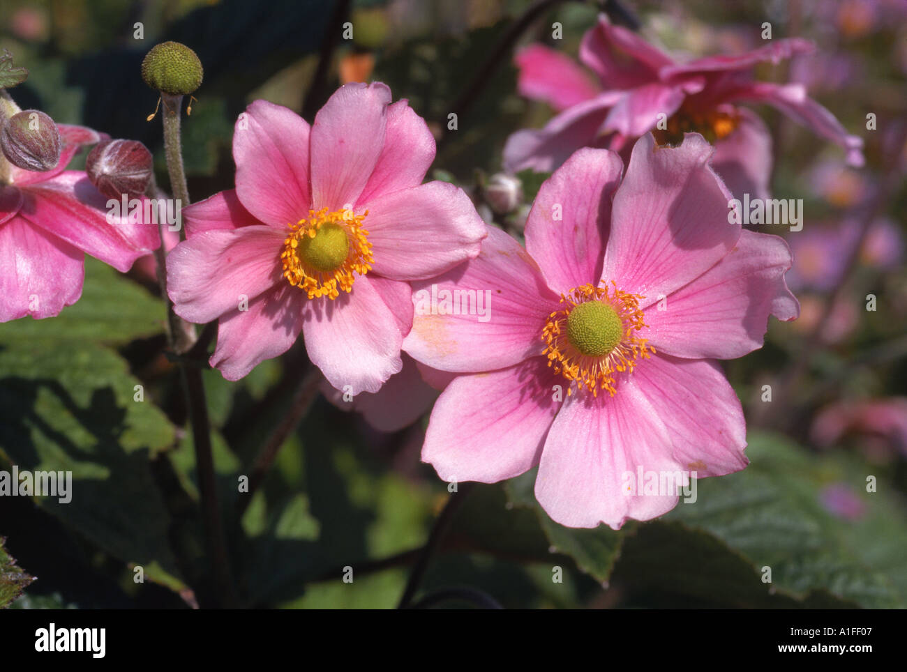 Pink Flowers Of The Japanese Anemone Anemone Japonica Taken In Stock