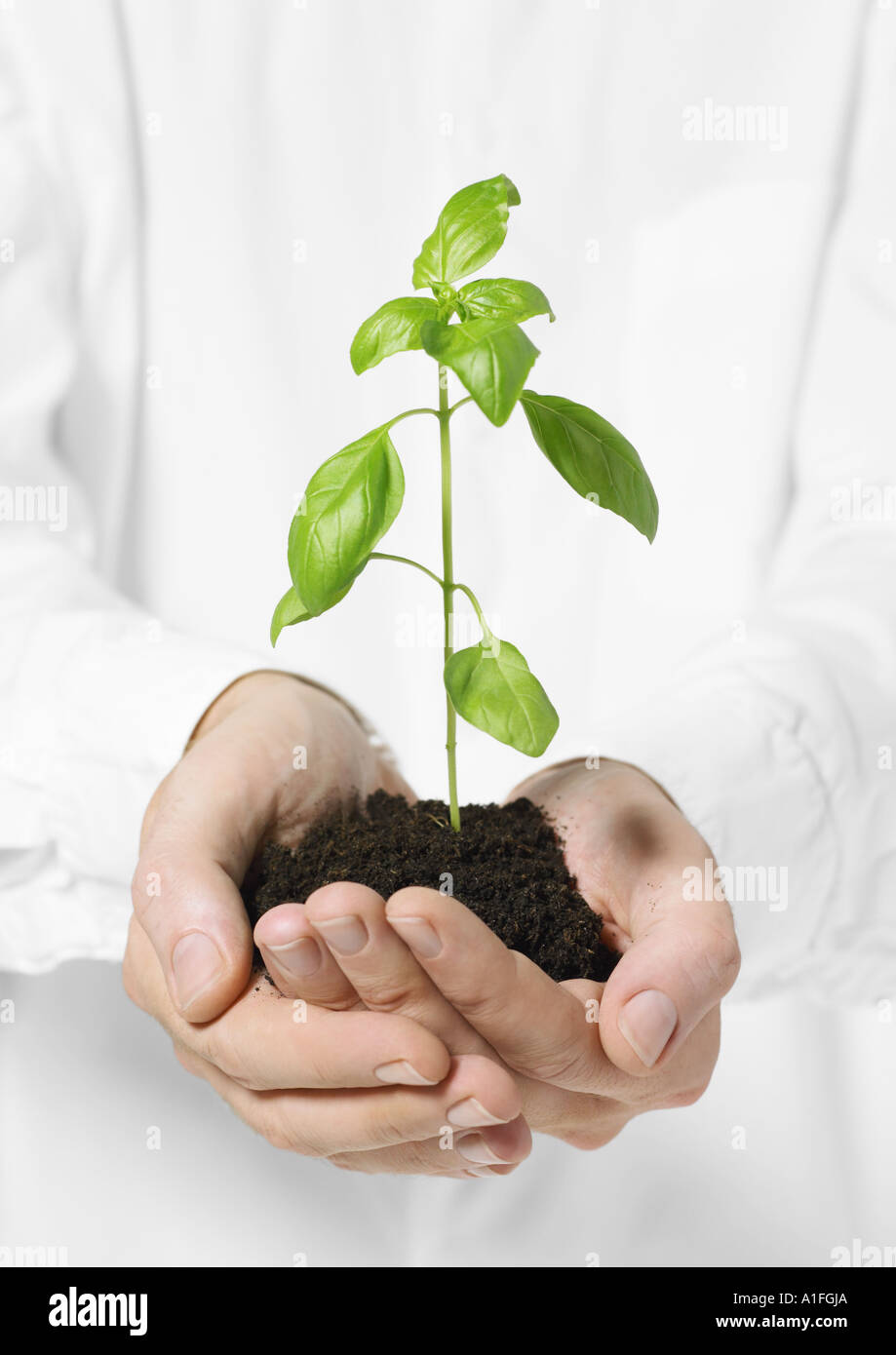 Hands holding small basil plant in loose soil - Stock Image