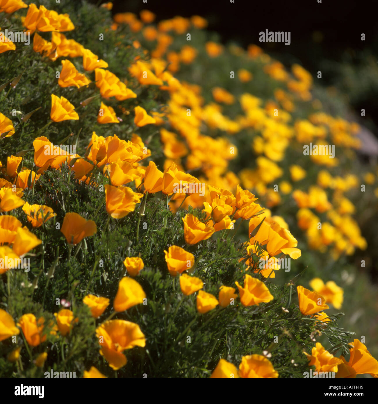 Yellow flowers growing on tenerife canary island spain stock photo yellow flowers growing on tenerife canary island spain mightylinksfo