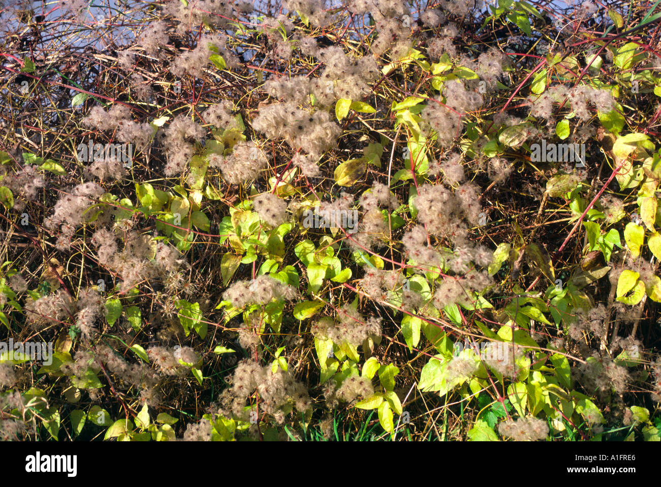 Old man s beard growing in hedgerow - Stock Image