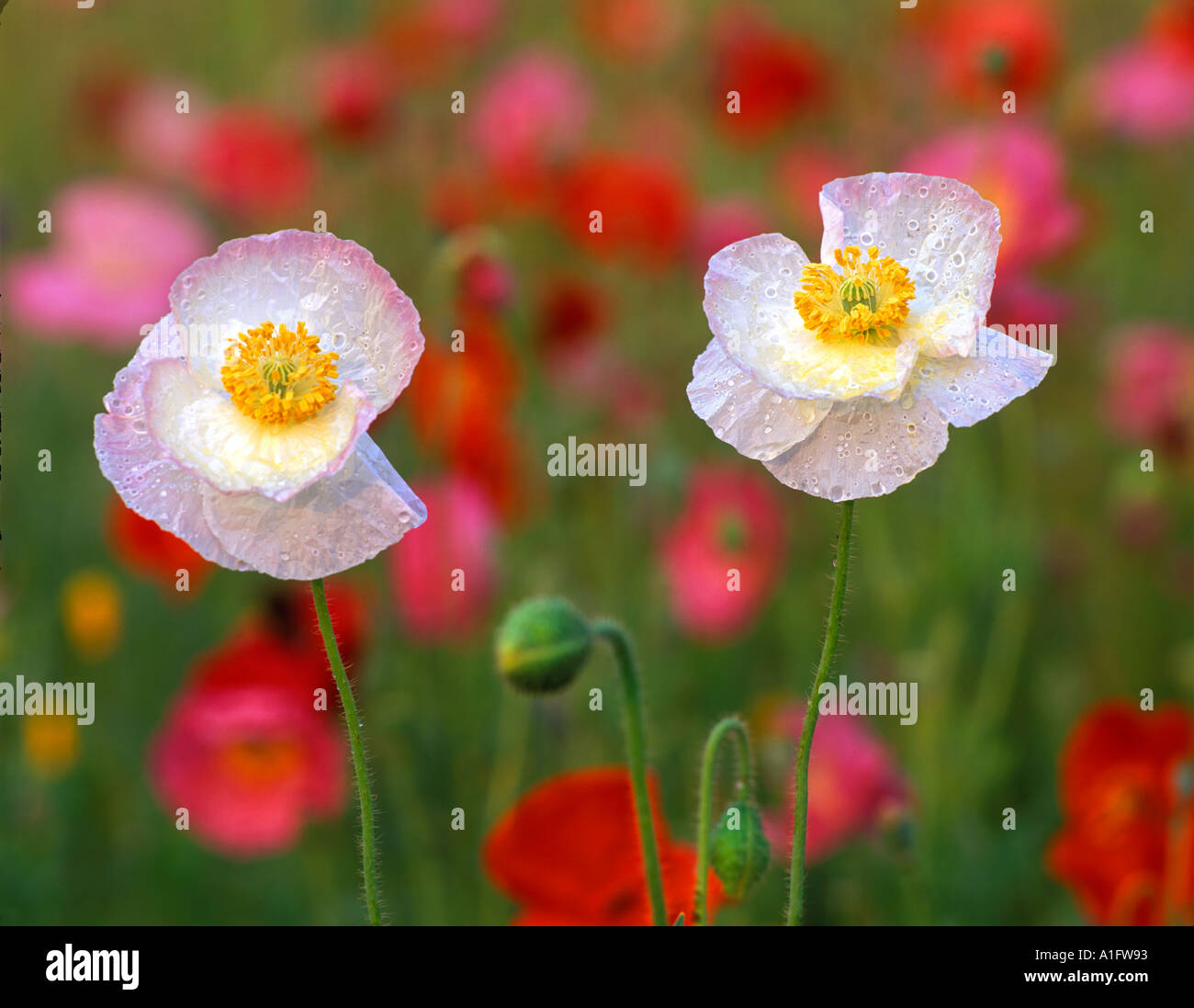White Poppy Flowers In Garden Of Mixed Poppies Summer Lake Inn