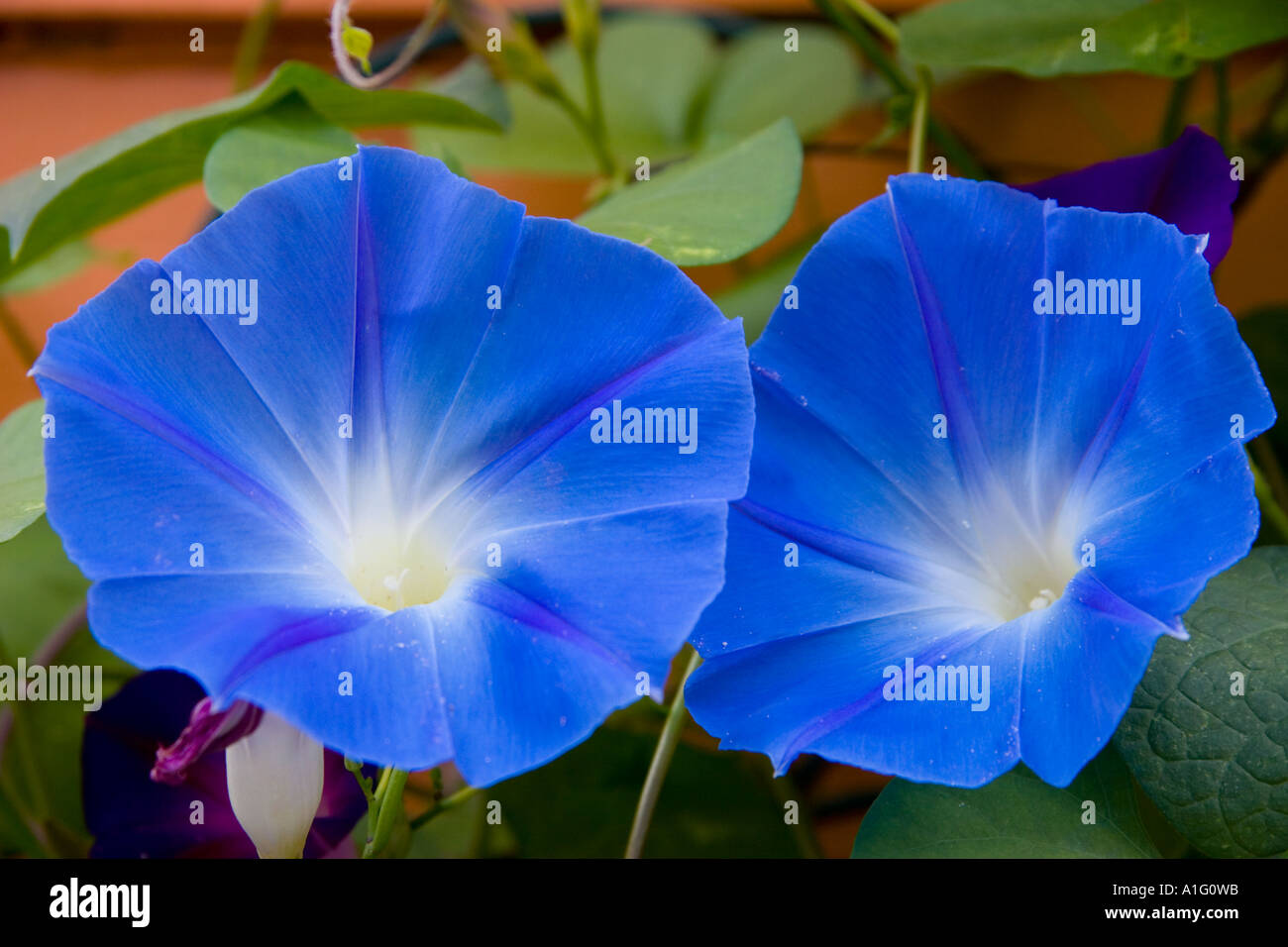 Ipomoea tricolor 'Heavenly Blue'. Close up shot of two Heavenly Blue Morning Glories taken in late summer. - Stock Image