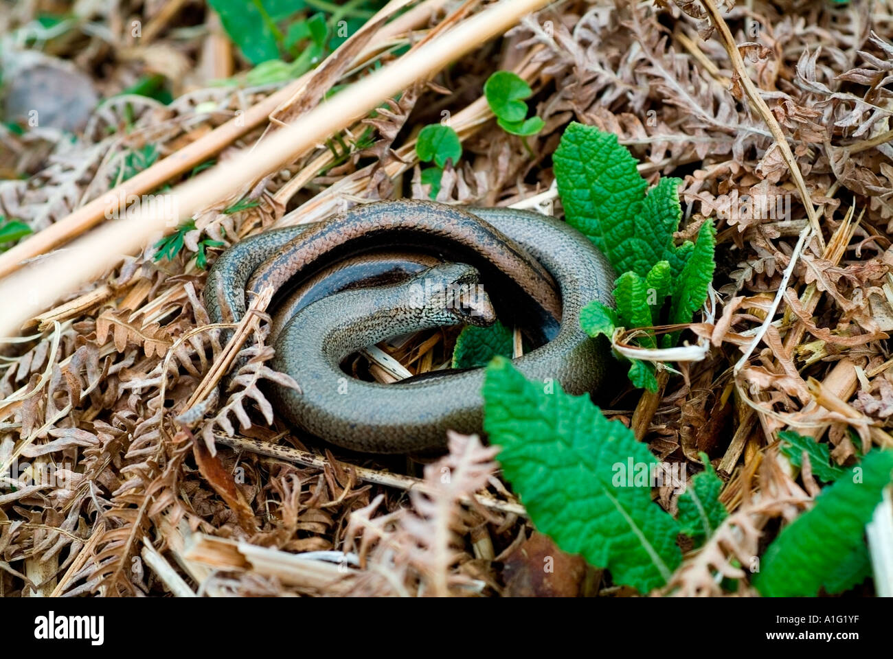Biting embrace of Slow-worms in bracken Stock Photo