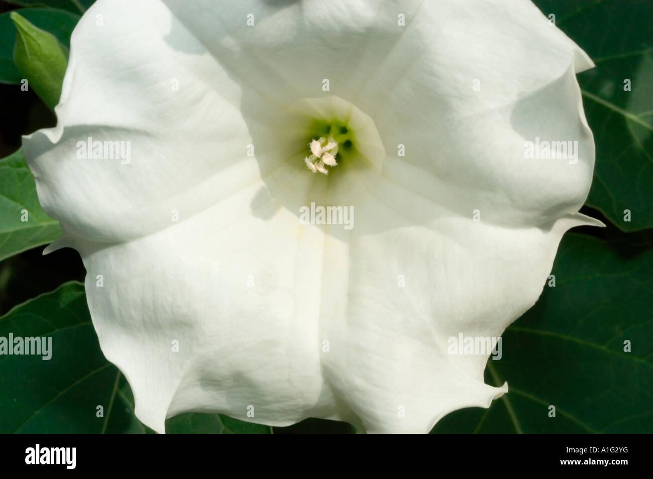 White flower close up of datura stramonium stock photo 10249443 alamy white flower close up of datura stramonium mightylinksfo