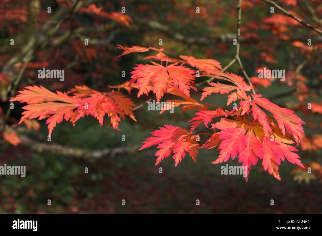 Acer palmatum var dissectum Palmatifidum  Group of leaves in