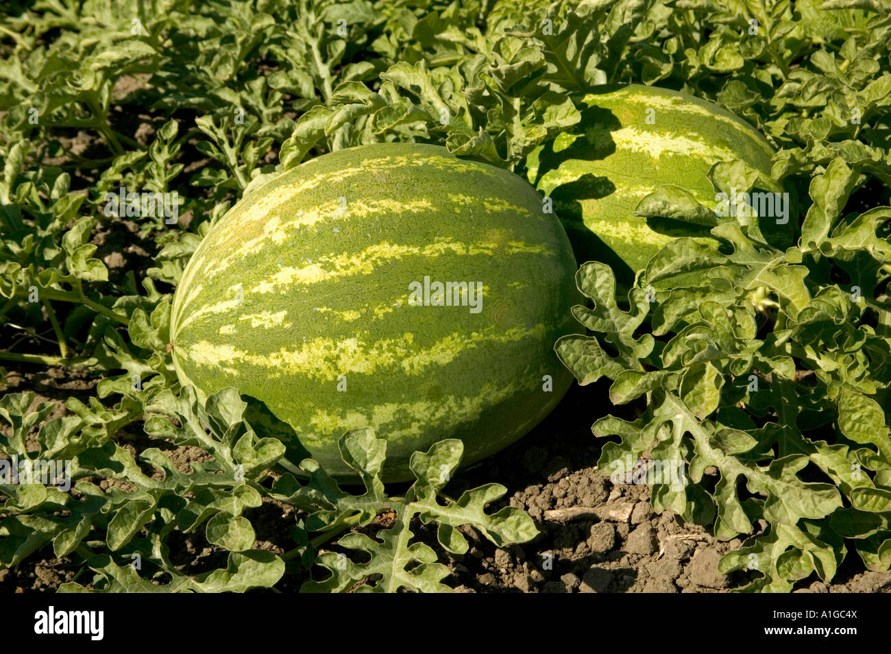 Growing melons in the open field: the choice of varieties, planting and care 60