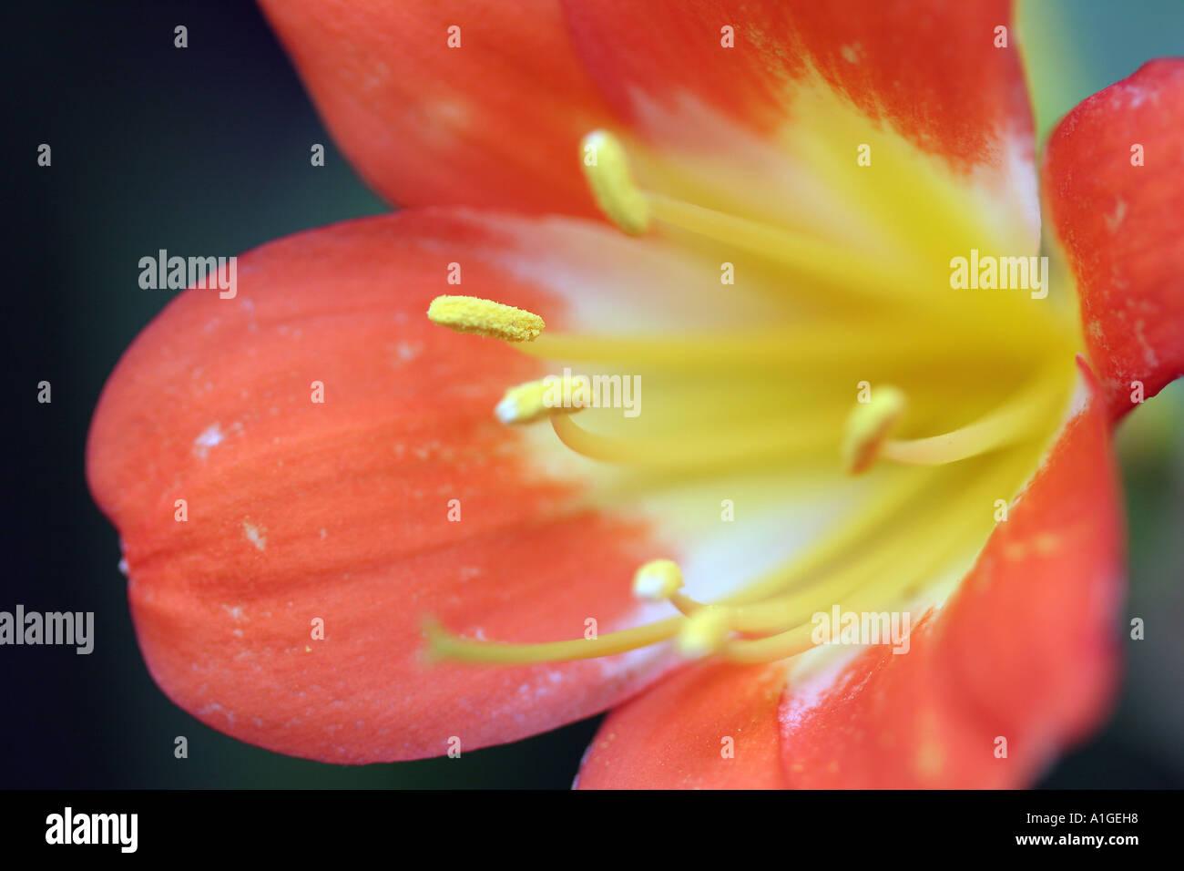 Bush lily Clivia miniata Regel Amaryllidaceae - Stock Image