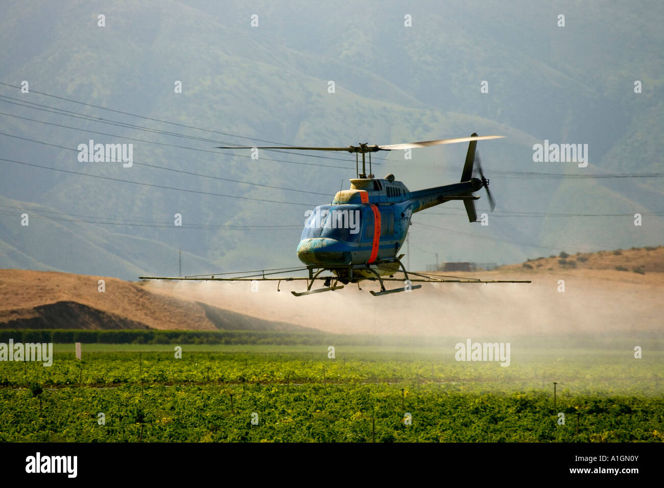 Helicopter spraying potato field, pre harvest. - Stock Image