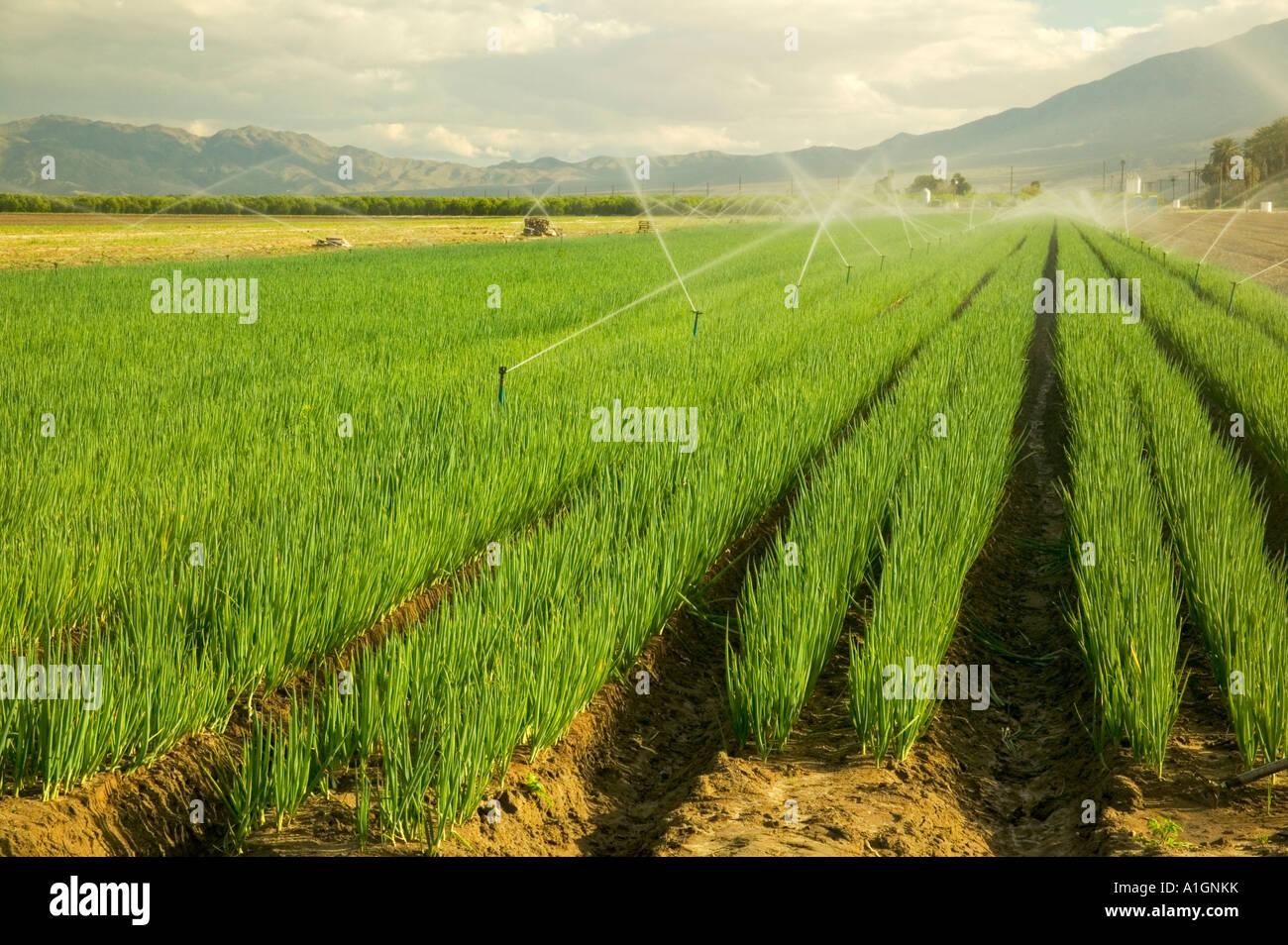 Organic Green Onion Field Under Irrigation Coachella