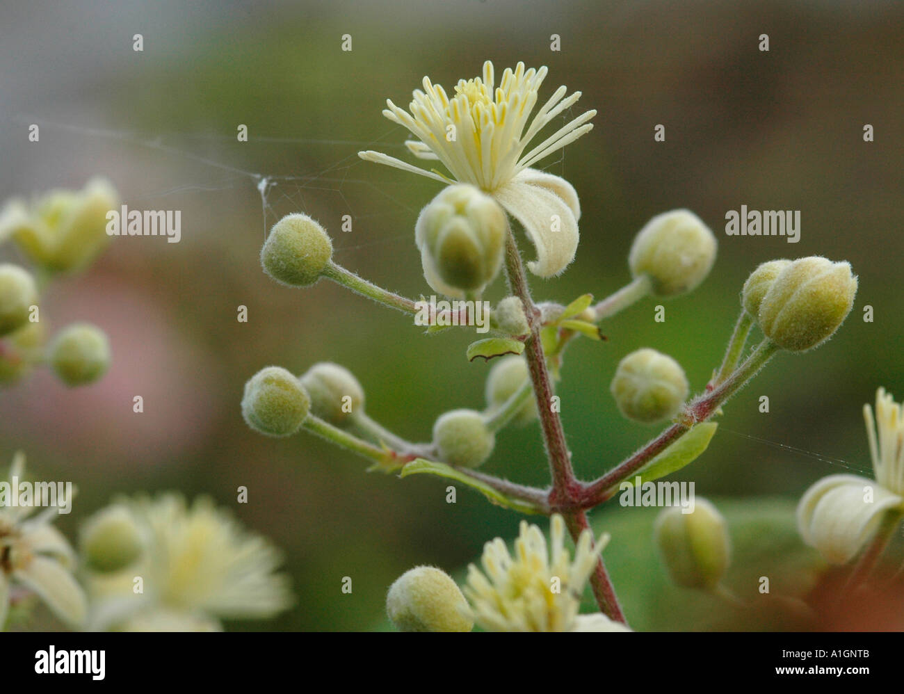 Flowers of Traveller's Joy - Stock Image