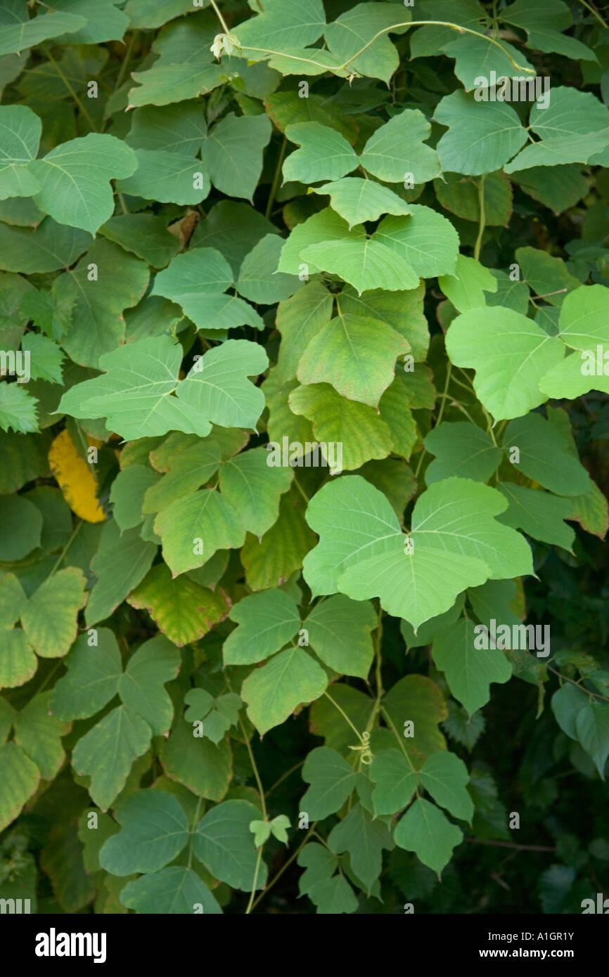 Leaves of the Kudzu vine, Florida Stock Photo: 10256198 ...  Leaves of the K...