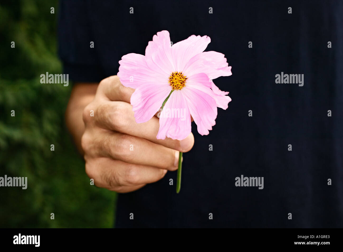 hand giving flower stock photos hand giving flower stock images