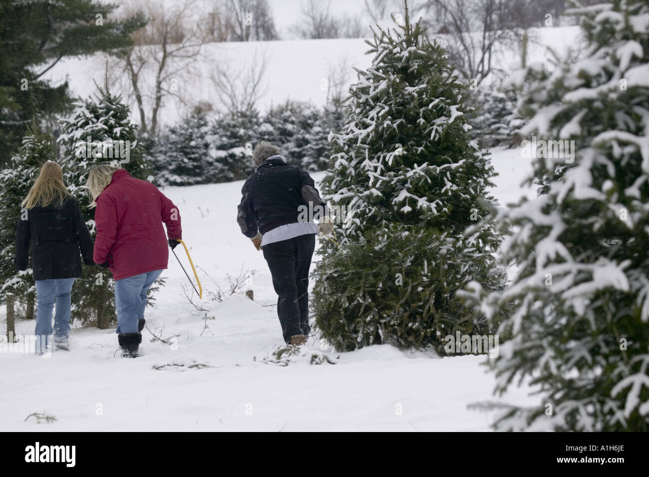cut your own christmas tree farm new york state - Cut Your Own Christmas Tree