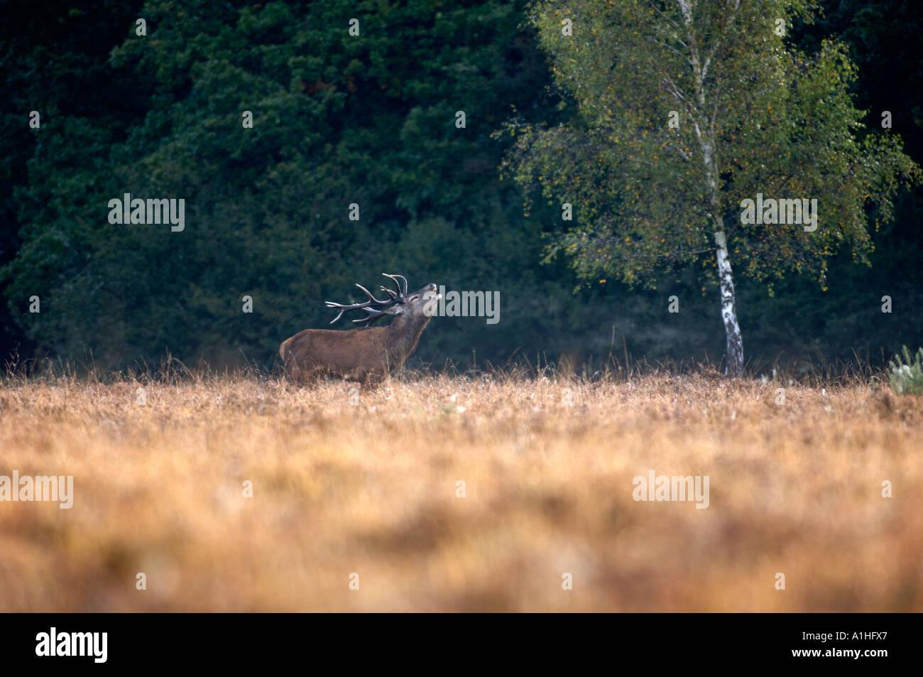 Red Deer Displaying - Stock Image
