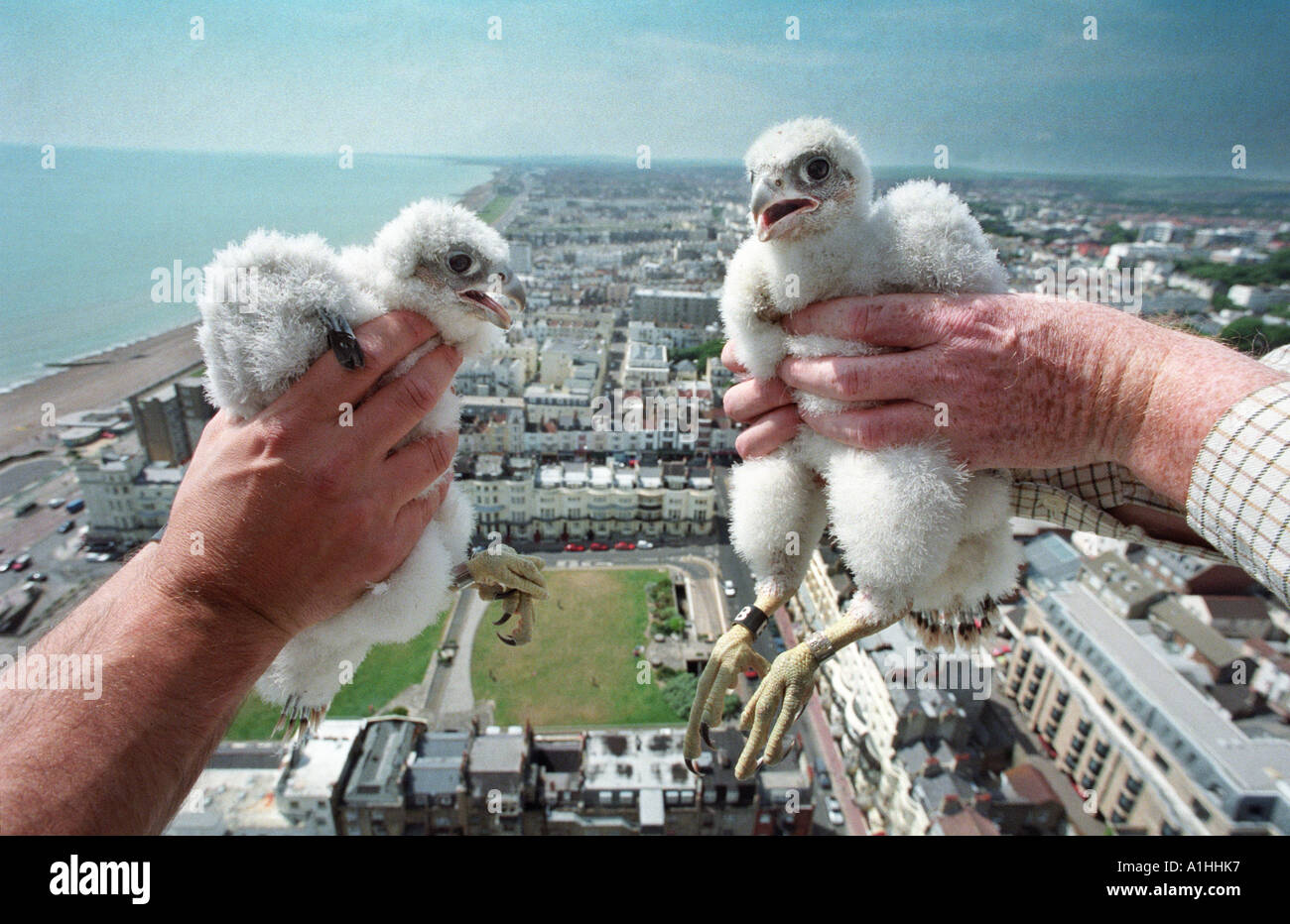 Peregrine falcon chicks Falco peregrinus being held above a townscape. - Stock Image