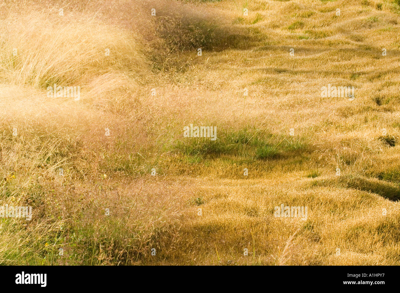 Grasses in volcanically active meadow, Yellowstone National Park, Wyoming, USA - Stock Image