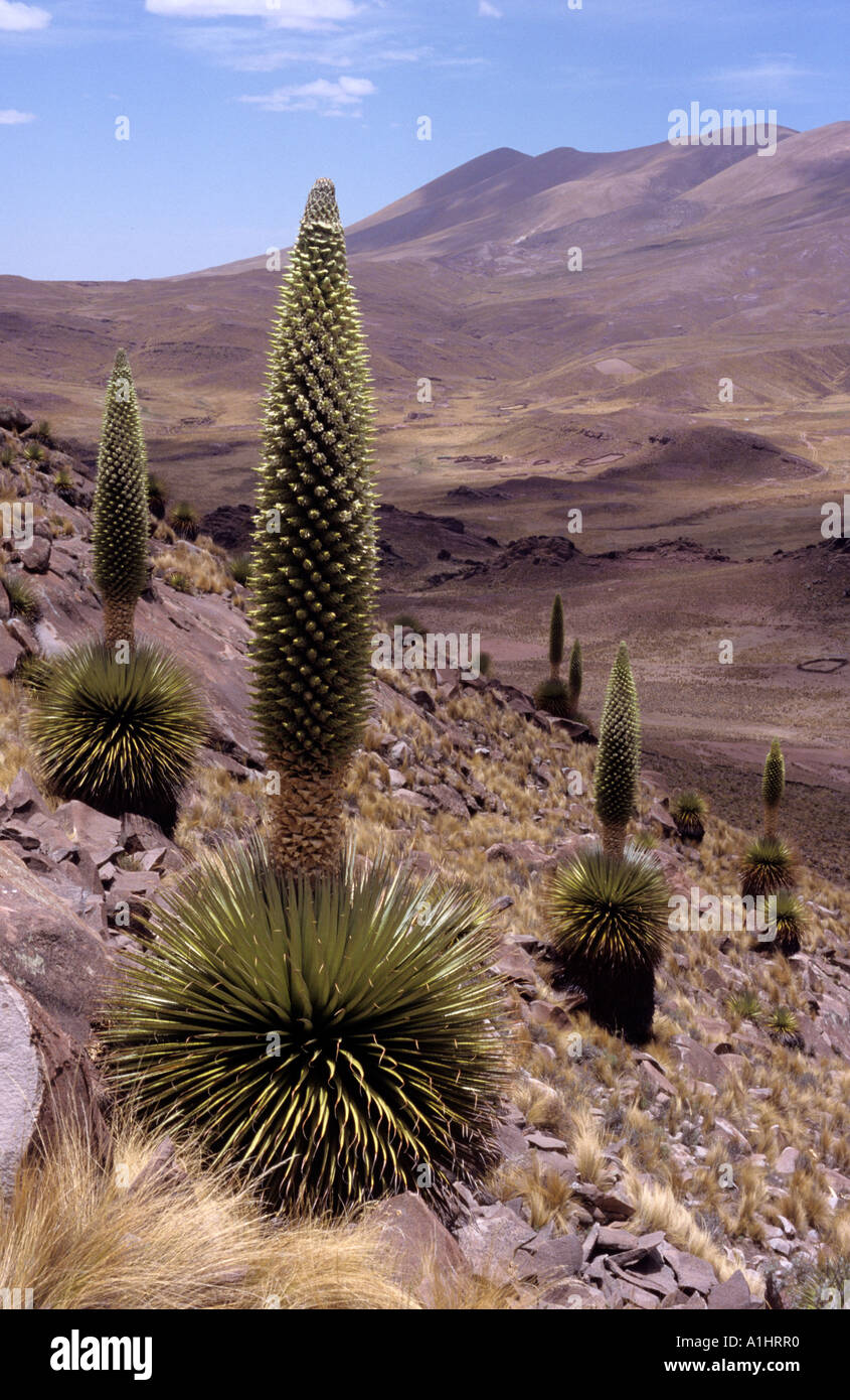 Gigantic Puya Raimondii the Queen of the Andes a giant bromeliad native to Bolivia and Peru, Cerro Comanche National Stock Photo