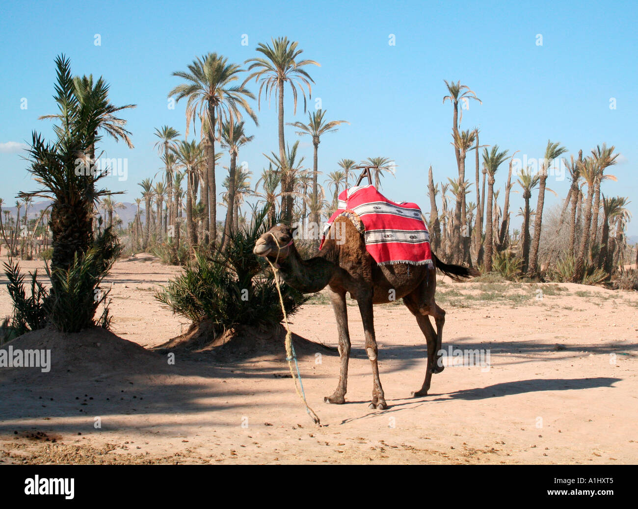 Camel with colourful blanket, The Palmeraie, Marrakech