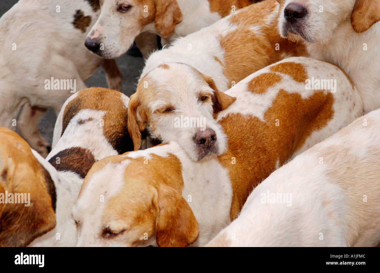 Golden Valley Hunt assemble at the Town Clock Square in Hay on Wye Powys Wales UK GB fox hounds mill around amongst supporters - Stock Image
