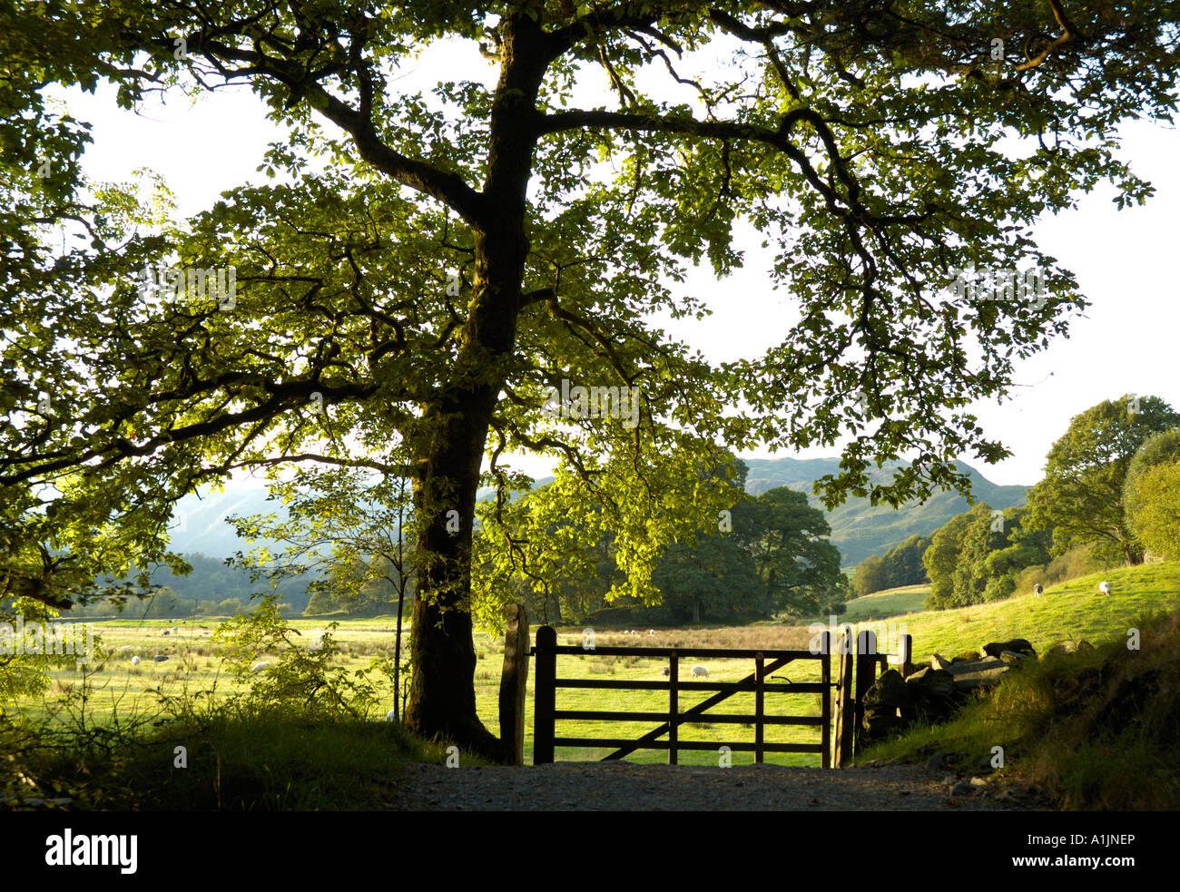 Tree and gate near Elter Water in the Lake District, Cumbria, England Stock Photo