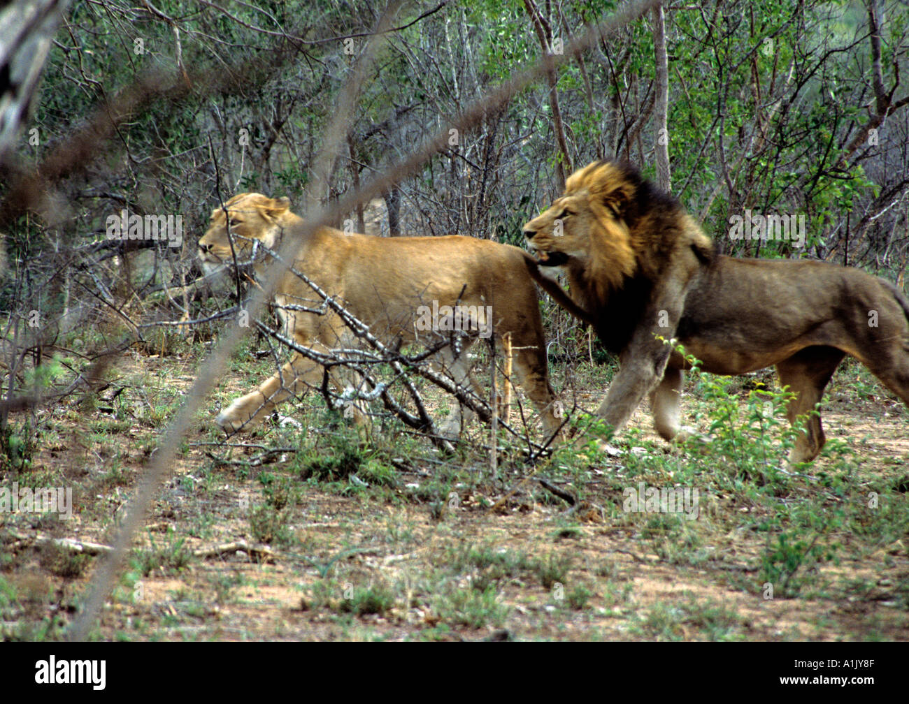 KRUGER NATIONAL PARK SOUTH AFRICA October Male and female lion Panthera Leo the male is following the female for mating - Stock Image