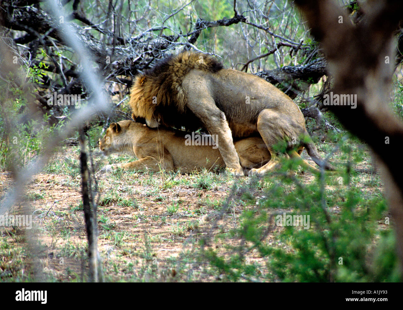 KRUGER NATIONAL PARK SOUTH AFRICA October Male and female lion mating Panthera leo male is biting the females neck - Stock Image