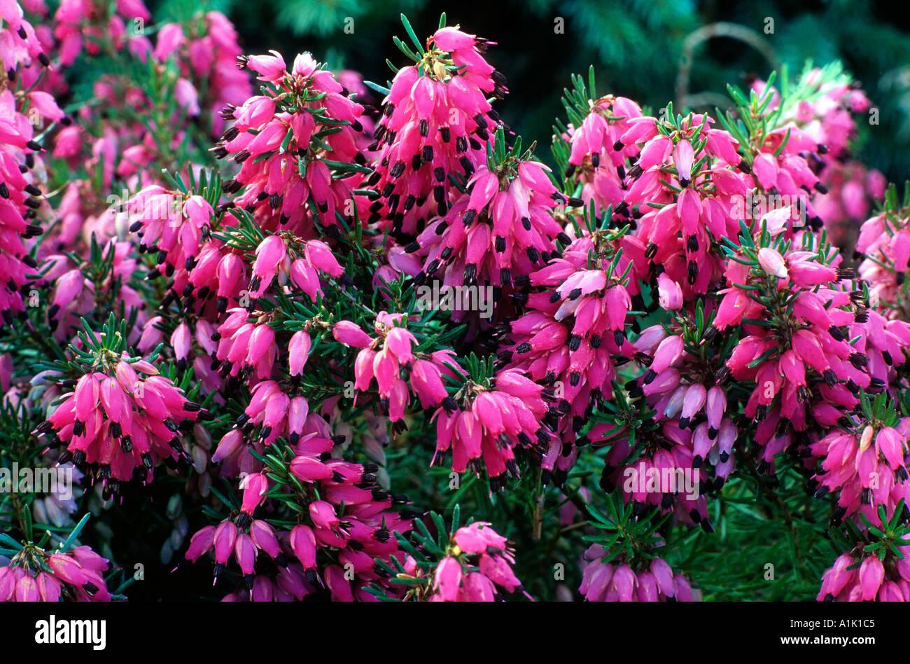 Erica Carnea 'Myretoun Ruby', 'Myrtoun Ruby' heather heathers ericas - Stock Image