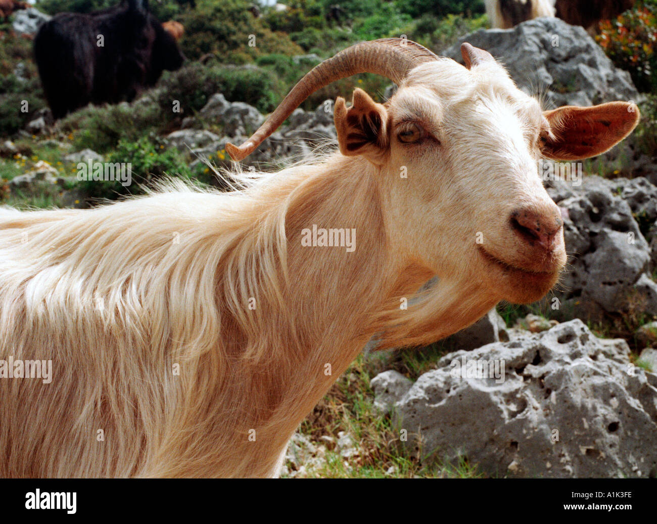 Goat clambering along the cliffs on the west coast of Kefalonia the Greek Ionian Island where Captain Corelli was filmed. - Stock Image